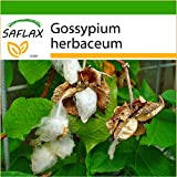 SAFLAX - Cotonnier - 12 graines - Avec substrat - Gossypium herbaceum