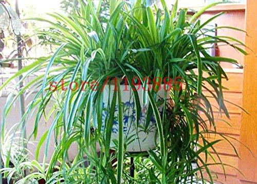 100 PCS Chlorophytum Graines Bonsai Garden Plantes plantes ornementales bricolage SeedsAndPlants jardin RARE graines de bonsaï vert pour la maison vivant décembre