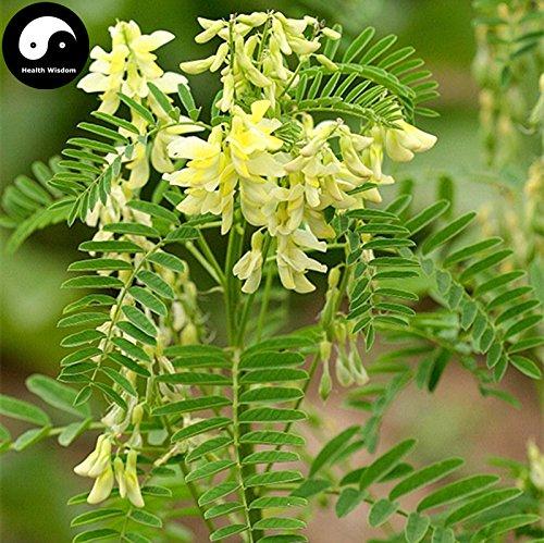 GETSO Samen-Paket: Kaufen Echt Astragalus Semente 100pcs Seedal Radix Astragali Für Huang Qi