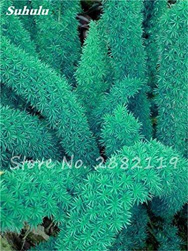 120 Pcs rares Wu bambou sétaire semences de plantes ornementales Bonsai herbes Plantes vivaces Jardin intérieur Graines Potted Fresh Air Facile à cultiver 10