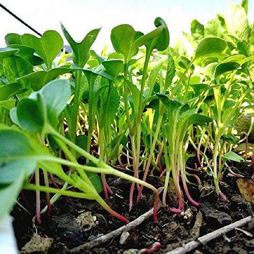 300g Karottengemüsesamen Gemüsesamen Balkon Topf leicht zu züchten Frühling Sommer Herbst Winter Jahreszeiten leicht zu pflanzen-Rettich Gemüsesamen 300g