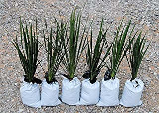 Yucca Plants Adam's Needle 20 Inches Tall 6 Pack of Plants Flowering Landscape