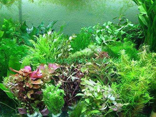 70 schnellwachsende Aquariumpflanzen Wasserpflanzen gegen Algen im Aquarium