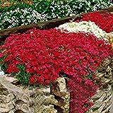 timesok garden,semi di aubrieta rare aubrieta seeds rock cress flower seeds tappezzanti perenni semi di fiori per il giardino di casa
