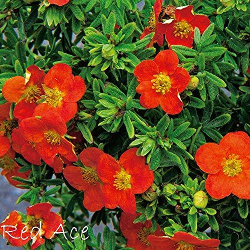 Fingerstrauch 'Red Ace' – Potentilla – Dasiphora fruticose Strauch mit orange-roten Blüten als Hecke, in Einzelstellung oder Bodendecker – Rotblüher von Garten Schlüter - Pflanzen in Top Qualität