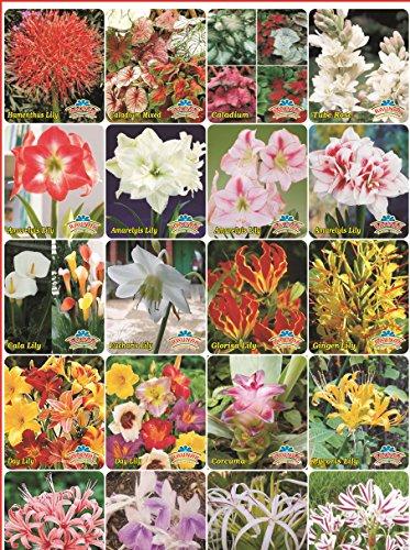 Tradico Super Agri Green Winter Blumenzwiebeln 3 Arten von gemischten Lilien und 6 Winter Blumensamen (10 Zwiebeln + 6 Samen Combo Pack-Pots Variety)
