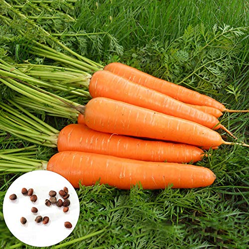 1000 Unids/Bolsa Semillas De Zanahoria Semillas De Zanahoria De Patio Agrícola Para El Hogar Sin OGM Tipo De Ahorro De Agua Zanahoria