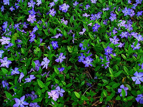 Vinca Minor Evergreen Ground Cover Plants, 50 Bare Root Plants