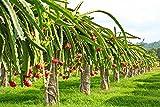 20Blanca pitahaya, Pit ahaya, pitahayas/Fresas, PERA hylocereus Undatus, Cactus, semillas, Jardín De Césped Y Accesorios, alimentación y mantenimiento