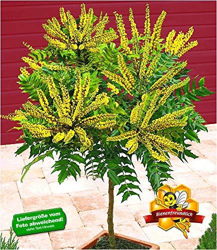 BALDUR-Garten Mahonien-Stämmchen, 1 Pflanze Mahonia Zierstämmchen winterhart