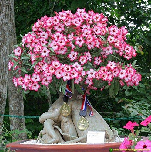 Desert Rose Mix - Wüstenrose - Adenium...