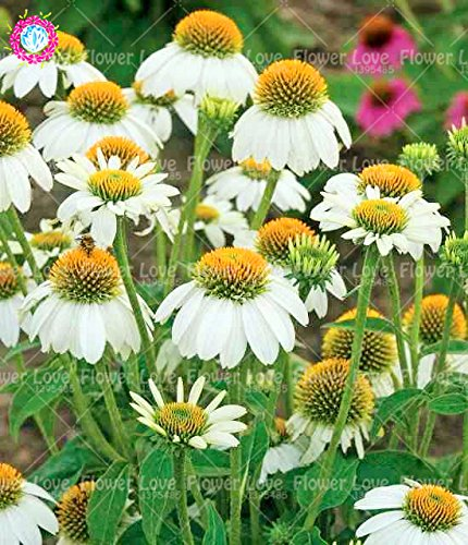50PCS Rare orange Graines Echinacea vivace Graines de fleurs échinacée Showy Beaucoup-doublé capitules Plante en pot pour le jardin 2