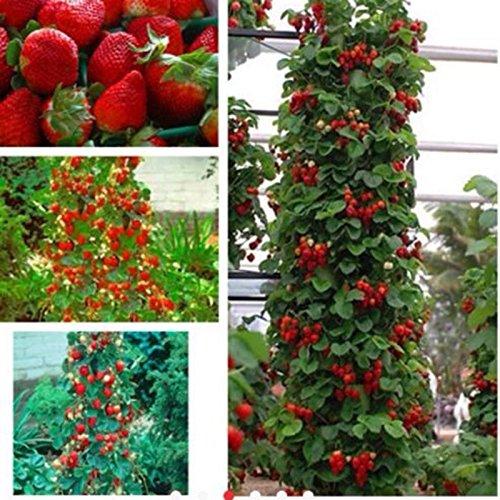 800pcs Erdbeeresamen 2016 neue rote Riesenkletter Erdbeere Obst Pflanzensamen für Hausgarten-Pflanzen