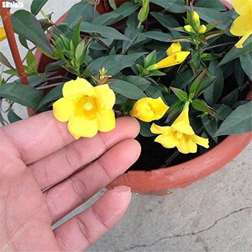 80pcs/sac Rare escalade Jasmine Graines Blooming vivace odorante Murraya Bonsai fleurs des plantes en pot pour jardin Décor