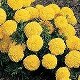 Marigold Seeds - Tagetes erecta - 30 Fresh Seeds - Crush Pineapple
