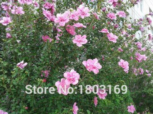 Hibiscus Seeds Promotion Supérieure !!! Rare Seeds Fower de 24 types de jardin Maison et jardin Flores Plantes d'intérieur