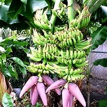 musa double mahoi banana