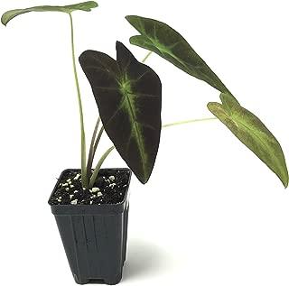 Black Beauty Elephant Ear Colocasia Antiquorum Live Plant