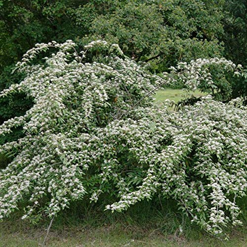 Many-Flowered Cotoneaster (Cotoneaster Multiflorus) 10 Seeds