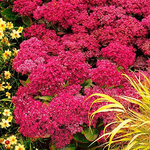 AIMADO Samen-50 Pcs Fetthenne Mr. Goodbud blumensamen bienen mehrjährig winterhart, In Violett leuchtende Fetthenne Blumen Saatgut für Garten