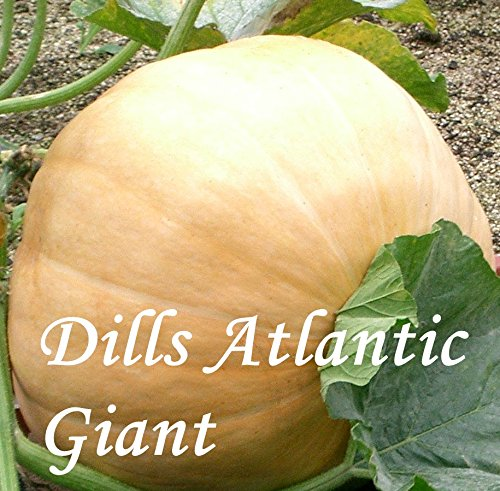 Dills Atlantic Giant - 10 Samen - Kürbissamen vom Weltrekordler !!