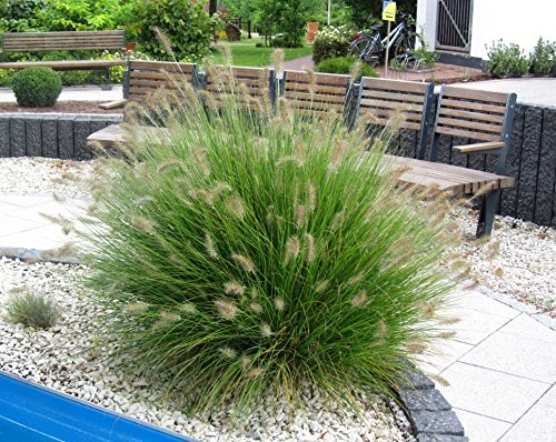 """Lampenputzergras Pennisetum alopecuroides\""""Hameln\"""" Ziergras winterhart mehrjährig -17 cm Topf - schöne winterharte Kübelpflanze"""