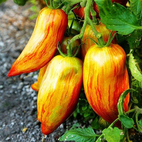 TENGGO Egrow 100 Unids/Pack Rojo Verde Amarillo Semilla de Tomate Invernadero En Maceta de Vegetales Orgánicos y Frutas Semillas - Amarillo