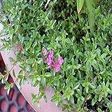 100 semillas arrastramiento semillas de tomillo alfombra mágica (Thymus serpyllum)