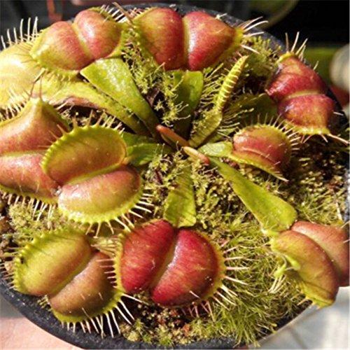 Hot Sale 100PCS / lot Graines Potted insectivores plantes clip Dionaea Muscipula géant Venus Flytrap Seeds Décor Jardin