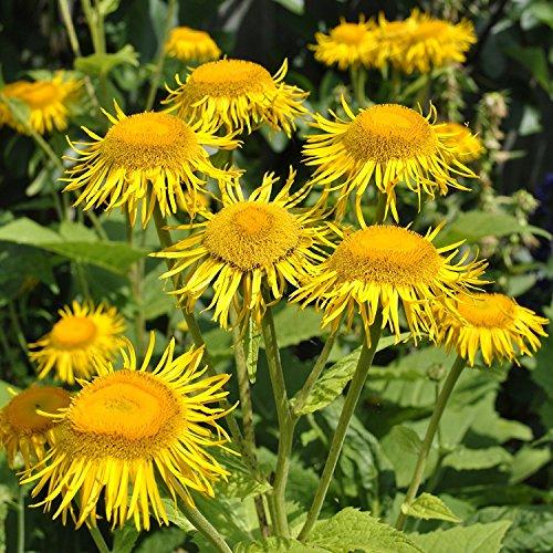 Alant - Inula helenium - Bienenweide - Zier- / Arzneipflanze - 200 Samen