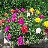Crecimiento rápido,Semillas de peonía de Pan de Aleta Pesada de Semillas de Flores de Sol-Pétalo único_2000pcs,Regalo de jardinería Ideal
