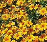 Tagetes Samen tenuifolia Nematodenkiller 10.000 Korn Großpackung