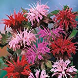 Lemon Hummingbird Mint Monarda Didyma beebalm mix flower seeds 25...