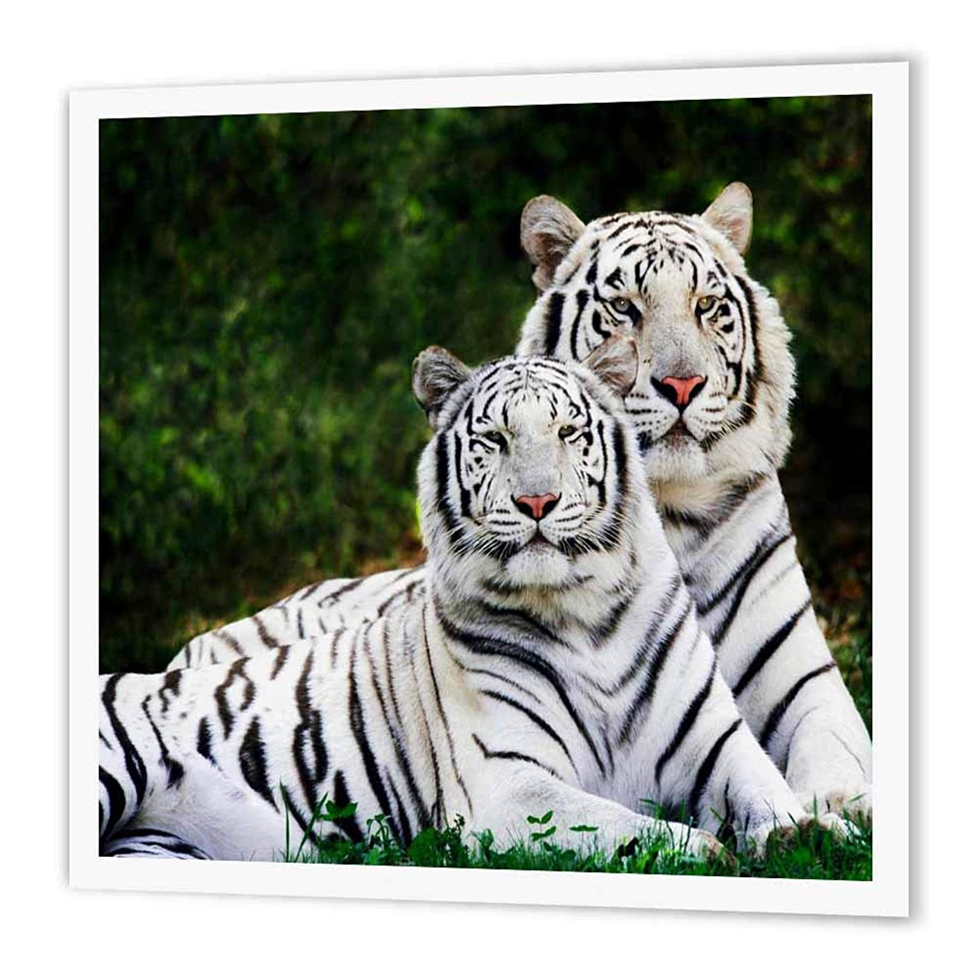 3dRose ht_54187_2 White Tigers-Iron on Heat Transfer for Material, 6 by 6-Inch, White