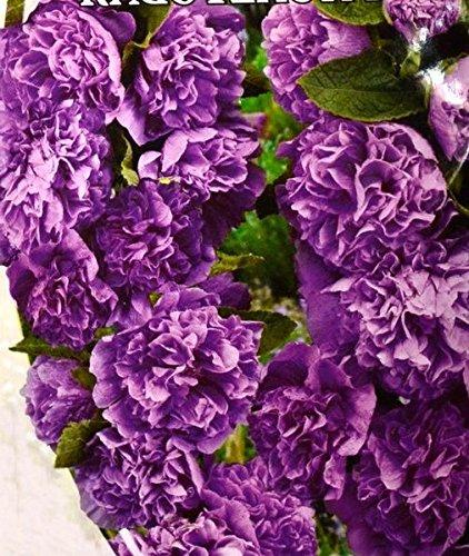 3g / 25 Graines de rose trémière Makhrovaya Violet