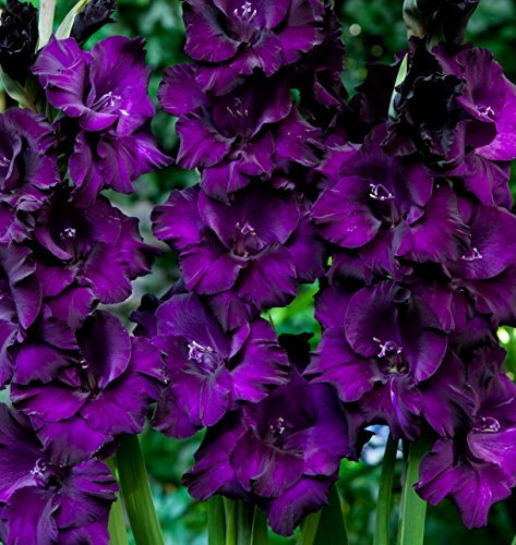 Made and Shipped in USA, Large Bulbs, Purple Mate Gladioli (20) Beautiful Flowering Perennials, Sword Lily, Gladiolus Bulbs