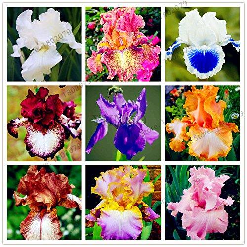 50pcs/bag Mischfarbe Iris-Blumen-Samen,...