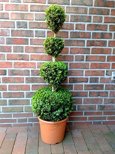 Buchsbaum 4er Kugel, Höhe: 110-120 cm, Bonsai, Buxus sempervirens, Formschnitt + Dünger