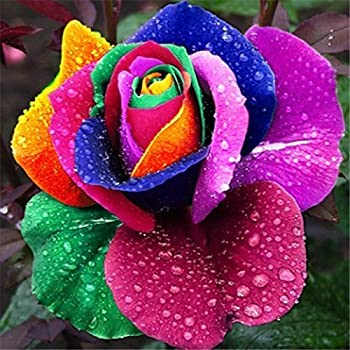 Rasnodda Rainbow Color Rose Seeds for Planting|Hybrid Rare Rose|Bush Perennial Shrub Garden Decoration(100pcs)