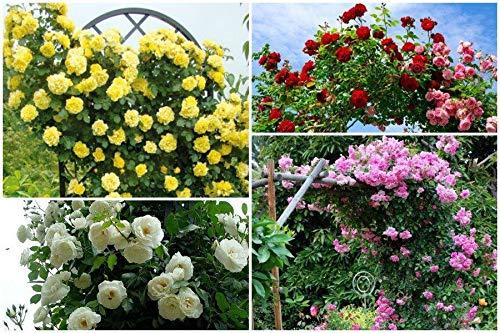 Portal Cool # 2: 100Pcs vielblütig Kletterrose Samen Balkon Zaun Blühender Garten Decor