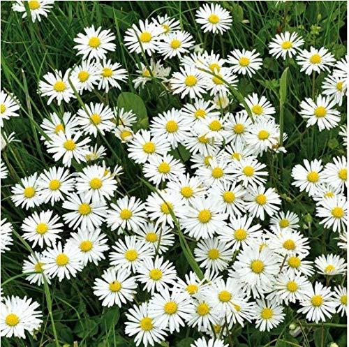 Tomasa Samenhaus- 100 Stück Wiesen-Gänseblümchen Magerwiesen - Wilde Blumen Chrysanthemum Blumensamen Saatgut winterhart mehrjährig Blume bienenfreundliche-auf Grasplätzen Steingärten (100 Stück)