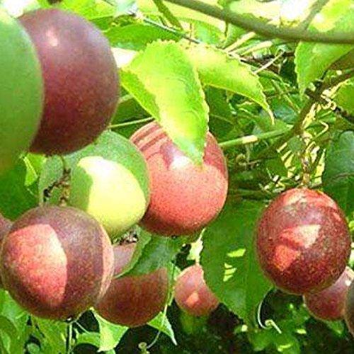 Auntwhale 10 piezas de semillas de maracuyá