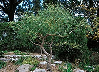 Best curly leaf tree Reviews