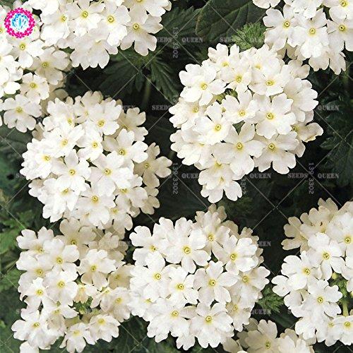 Variété rare! 100 pcs / sac verveine graines plante herbacée hybride vivace en pot Maison et jardin 95% fleurs bonsaï taux de germination 5