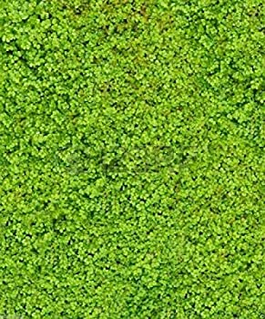 500 Irish Moss Seeds - Sagina Subulata - Great for Ground Cover or Containers