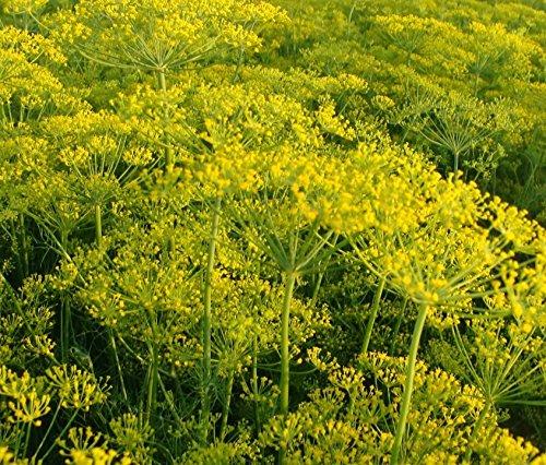 Aneth Dukat - Anethum graveolens - 4000 Graines