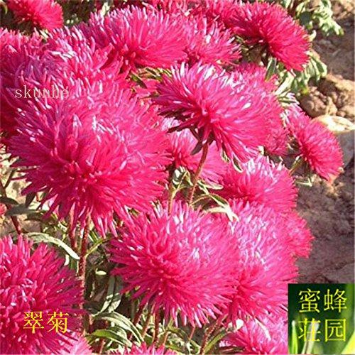 Aster graines de graines de fleurs de vanille Variété de la cire turquoise Jiangxi graines chrysanthème environ 100 graines 4