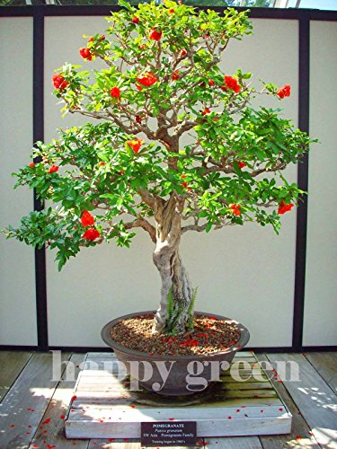 Portal Cool Granado - Punica granatum - 40 semillas - Perfecto para bonsai