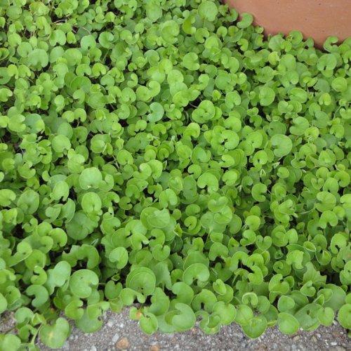 ダイカンドラ (ダイコンドラ):緑葉1kg[タネ][春・秋まき 約76平米分][太陽光パネルの下草に最適]