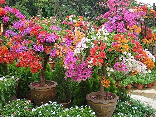 Bougainvillea Spectabilis Samen, Innen/Außen oder Bonsai, tropische Kletterpflanze